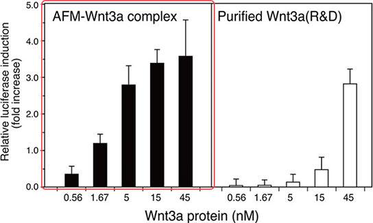 Afamin/Wnt3a复合体具有较高的活性